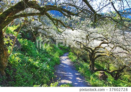 梅花園裡的梅花樹和步道 37602728