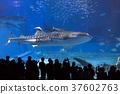 鯨鯊 魚 水族館 37602763