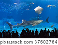Whale shark and ray 37602764