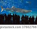 鯨鯊 魚 水族館 37602766