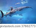 鯨鯊 魚 水族館 37602773