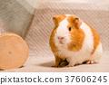荷蘭豬 毛小孩 犬 37606245