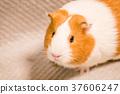 荷蘭豬 毛小孩 犬 37606247