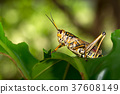 Locust peering out over leaf. 37608149