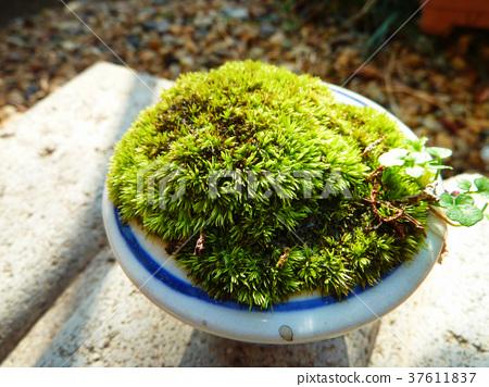이끼 식물 37611837