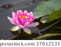water, lily, water-lily 37612535