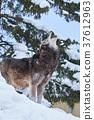Shinlin Wolf的嚎叫聲 37612963
