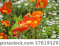 orange, oranges, poppy 37619329