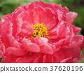 ดอกไม้,กลีบ,ฤดูหนาว 37620196