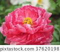 ดอกไม้,กลีบ,ฤดูหนาว 37620198