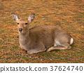 deer, deers, nara park 37624740