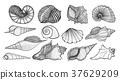 beautiful mollusk sea shells 37629209