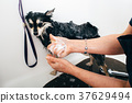 Bathing Pomeranian Spitz after grooming 37629494