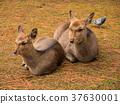 deer, deers, nara park 37630001