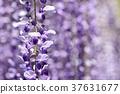 꽃 등나무 꽃 37631677