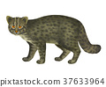 Iriomote wild cat image 37633964