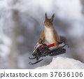 Red squirrel jumps with  a snowmobile 37636106