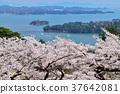 사이 교 다시 소나무 공원의 벚꽃 37642081