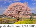벚꽃, 꽃, 플라워 37642085