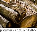 잎, 수피 , 나이테 37645027