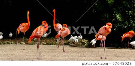 Flamingo 37645028