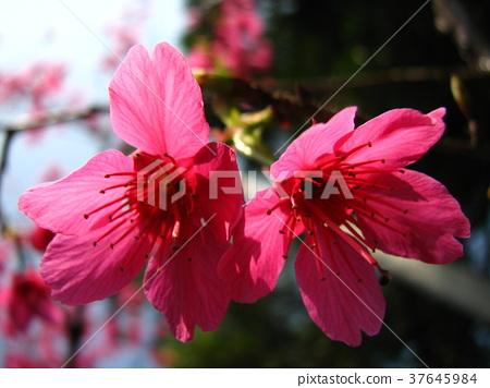Konohana Sukai,歡迎春天到來 37645984