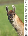 Llama portrait. 37646574