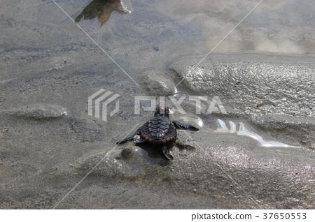 A loggerhead turtle returns to the sea 37650553