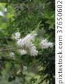 꽃, 플라워, 백색 37650602