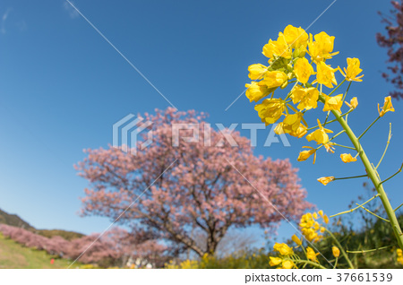 Rape flowers and cherry blossoms 37661539