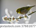 [새] 동박새와 매화 (14) 37661677