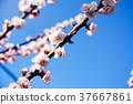 Cherry tree in blossom 37667861