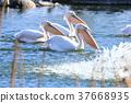 pond, lagoon, pelican 37668935