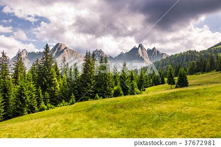 spruce forest on grassy slope 37672981