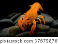 Young crayfish lobster with small rock. 37675876