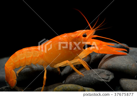Young crayfish lobster with small rock. 37675877