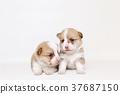 柯基犬兄弟 37687150