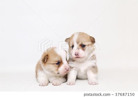 柯基 威爾士矮腳狗 彭布洛克威爾士科基犬 37687150