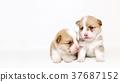 柯基犬兄弟 37687152