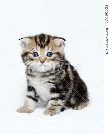 Scottish Fold Kitten Stock Photo 37690008 Pixta