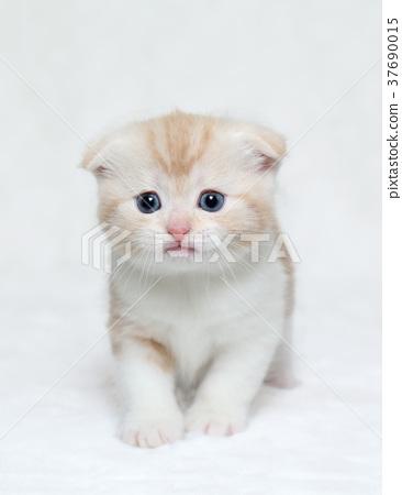 Scottish Fold Kitten Stock Photo 37690015 Pixta