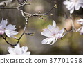 star, magnolia, bloom 37701958