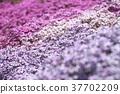 봄의 꽃, 플록스 37702209