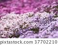 봄의 꽃, 플록스, 정원, 꽃 구조 37702210