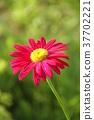 花朵 花 花卉 37702221