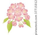 벚꽃 송이 피어 葉桜 일러스트 37715012