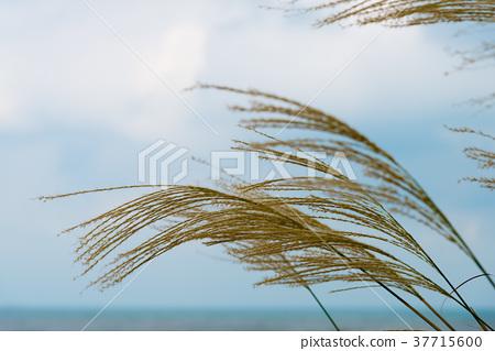 蘆葦蘆葦海濱蘆葦普通蘆葦植物海南海 37715600
