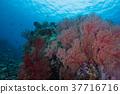 산호, 산호초, 연산호 37716716