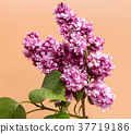 Bunch of lilac flowers isolated on brown  37719186