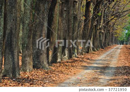 대만, 대만, 가오슝, Liugui 지구, Xinwei 종묘장, 마호가니, 숲, 나무, 낙엽, 흔적, 도로, 녹색 잎 37721950